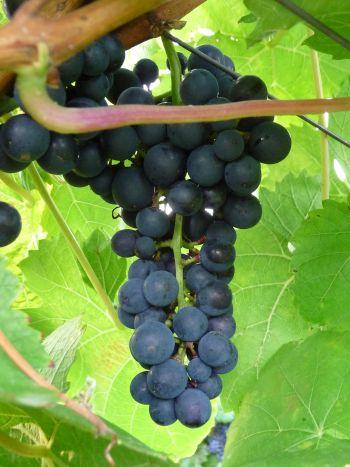 Das wird mal einer - ein guter Frankenwein - Foto von Georg Magirius