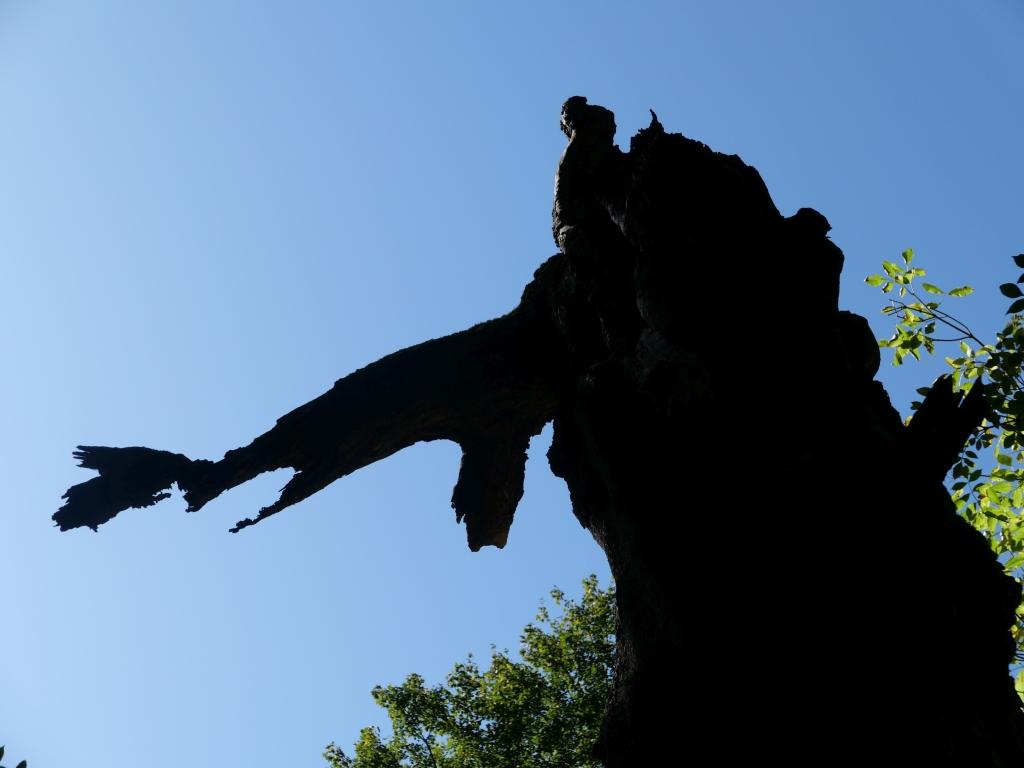 "Hexenbaum beim Heigenbrücken - Ziel der Wanderung ""Das Geheimnis des Hexenbaums"""
