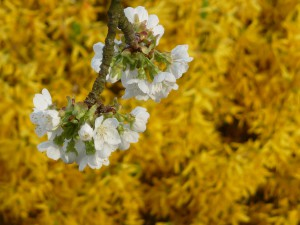 Kirschblüte - Foto von Georg Magirius
