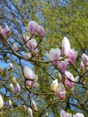 Magnolien im Braubachtal im Taunus