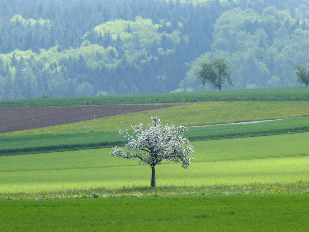 Blühender Obstbaum auf der Hochebene von Preunschen im Odenwald - ganz in der Nähe ist das älteste Bauernhaus des Odenwalds