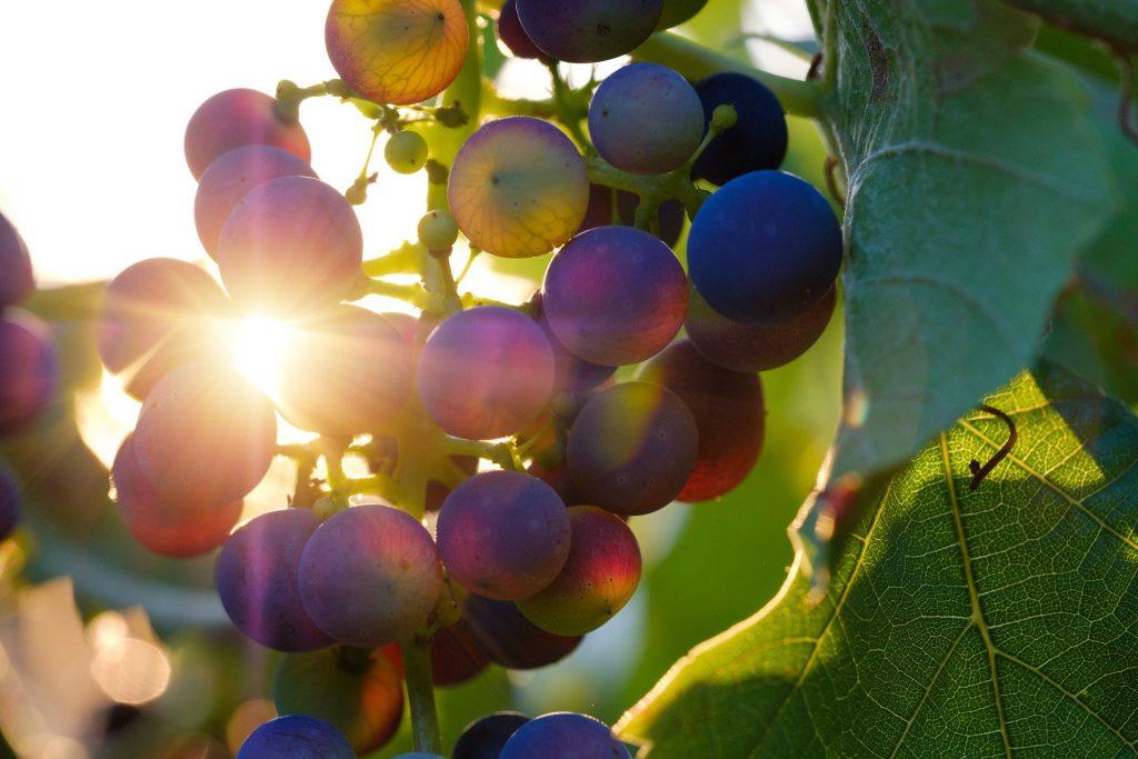 Wein genießen ohne Onlinecoach - rote Trauben