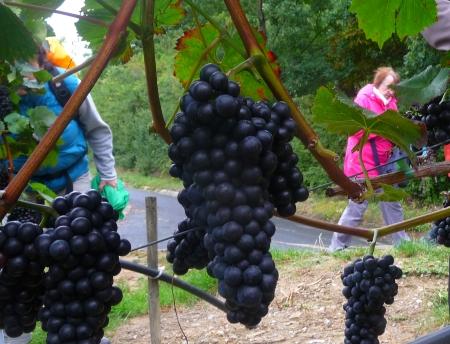 Weintrauben bei Sommerhausen