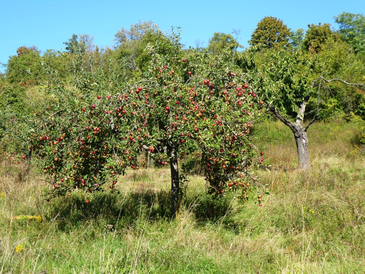 Berger Hang mit Apfelbäumen