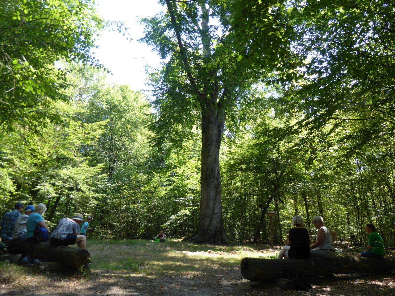 """Goethebuche im Frankfurter Stadtwald - Ziel der Tour """"Meditieren mit offenen Augen"""""""